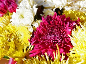 November flower:Chrysanthemums Photo:Fir0002/Flagstaffotos