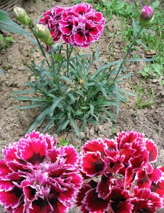 Carnation (Dianthus caryophyllus) January Flower Photo:Darkone(Wikimedia)