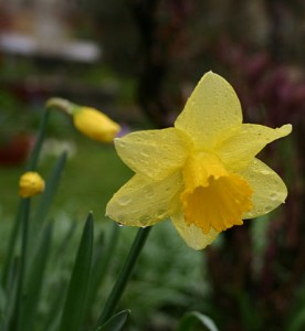 Daffodil.Photo by Bertil Videt, 2005