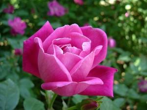 China Rose (Rosa chinensis) Photo: Sakurai Midori(Wikipedia)