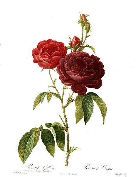 Rose is the June Flower. Les Roses by Pierre-Joseph Redouté (1759-1840) Photo:Public Domain (US Library of Congress: lccn.loc.gov/50049695)