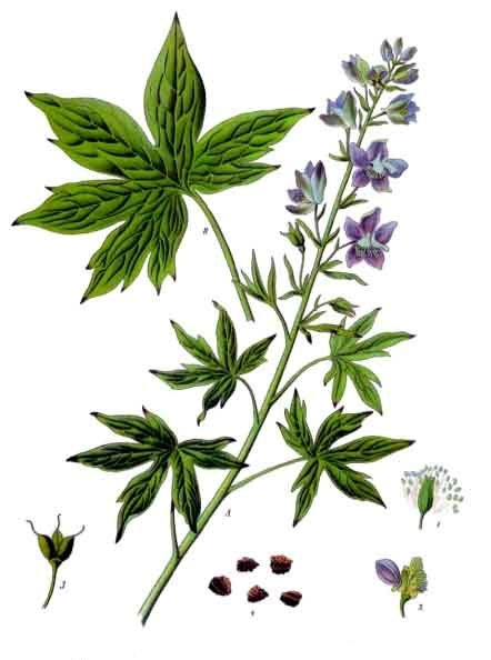 Larkspur (Delphinium officinale) Is one of two plants for July. The other is the water lilly. Image: Franz Eugen Köhler, Köhler's Medizinal-Pflanzen (Public Domain)