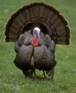 Male wild turkey Photo: Public domain