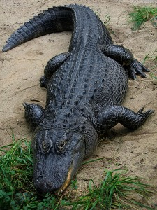 American Alligator in captivity at the Columbus Zoo, Powell, Ohio Photo:Postdlf(Wikipedia)